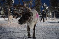 Reindeer-icehotel-sweden