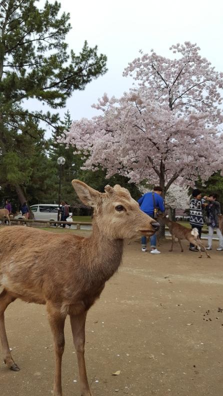 NaraPark_Deer
