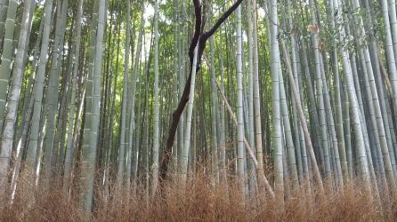 Bamboo