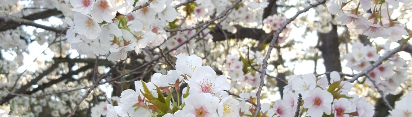 Cherryblossom_Japan