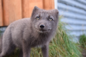 A friendly Arctic Fox