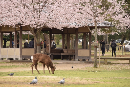 NaraPark_Japan