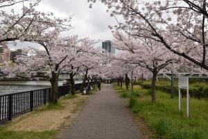 Osaka_cherryblossom