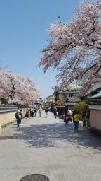 cherry-blossom-gion-kyoto