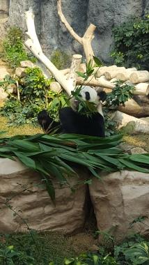 Panda in Macau