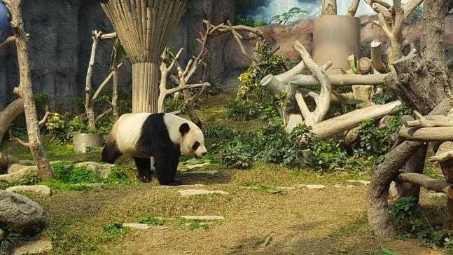 Macau panda