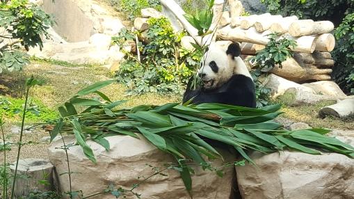 Macao-Panda