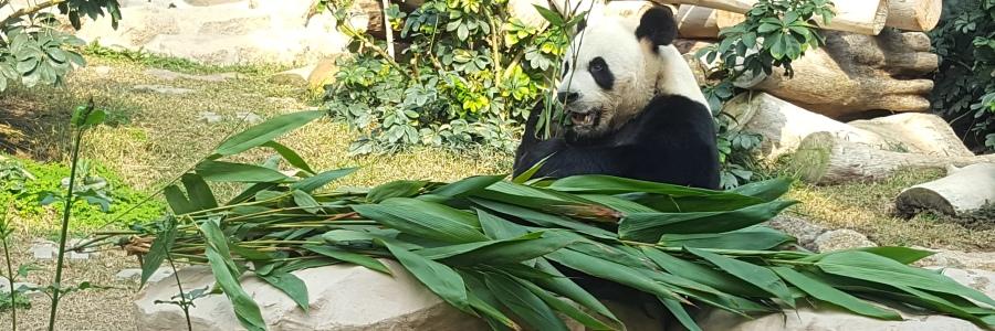 Macau-Panda