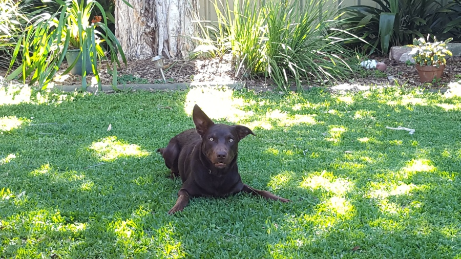 Sprocket kelpie dog