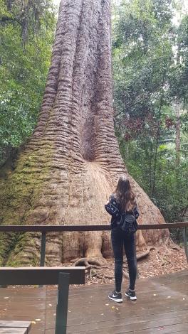 Old Bottlebutt Tree