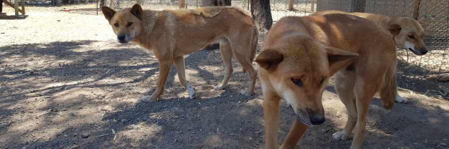 Bushland Dingo Haven