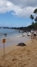 A turtle enjoying the sunshine on Laniakea Beach