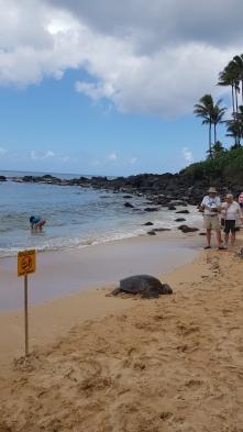 A turtle enjoying the sunshine on Laniakea Beach